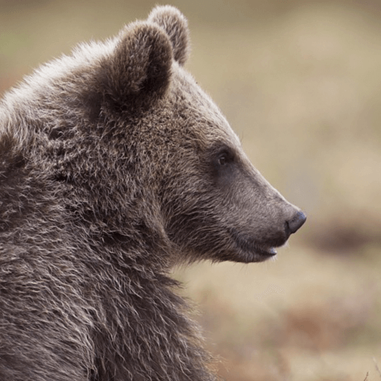 Slovakia Bear