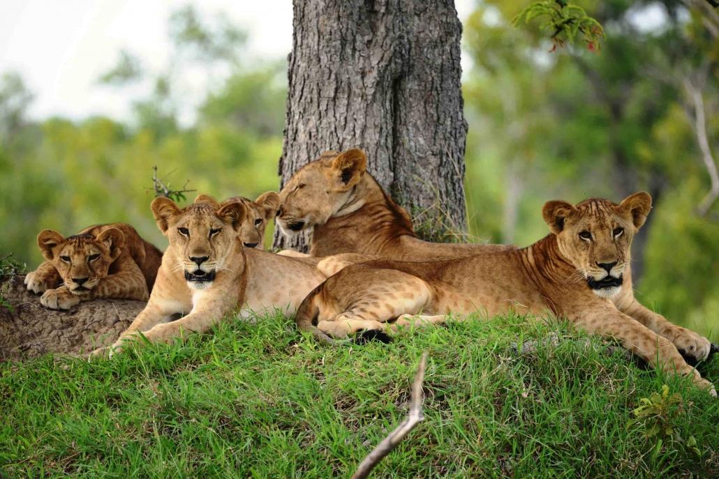 Selous lion pride