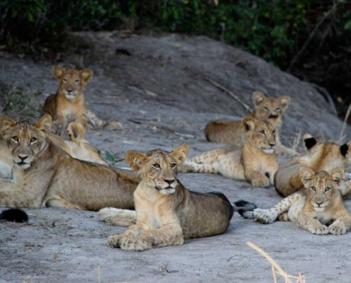 Saadani Lions