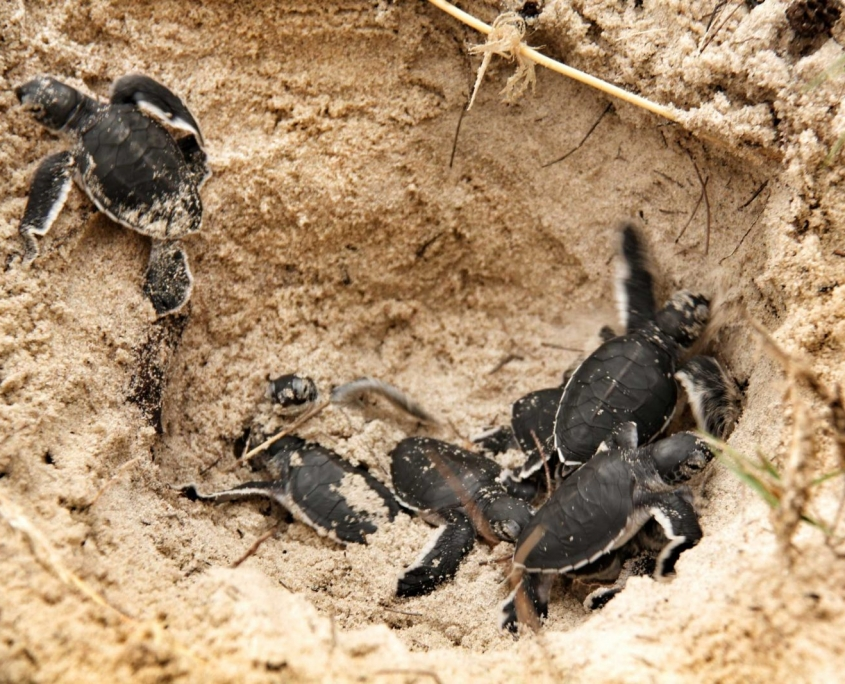 Saadani Turtles Hatching