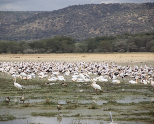 Lake Manyara National Park - Flamingo