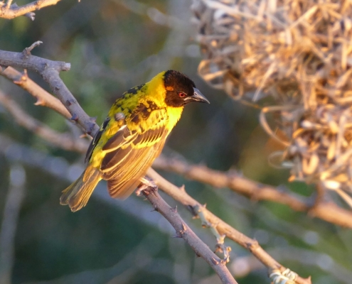 Little O Weaver Bird
