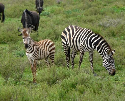 Ndutu - Zebra