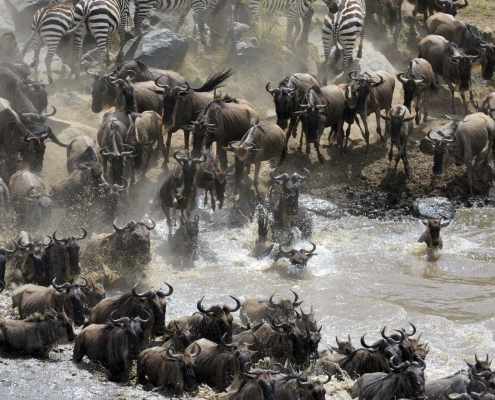 Serengeti Migration - Wildebeest River Crossing